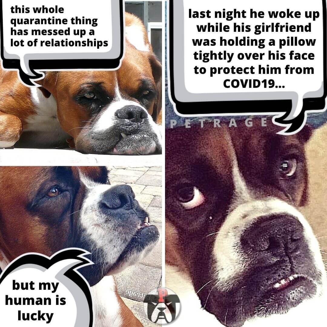 Sarcastic Boxer Dog Quarantine Meme - PETRAGE